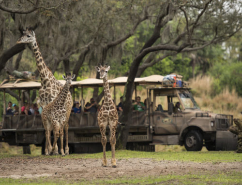 Giraffe Calf Joins Herd on Disney's Animal Kingdom Savanna